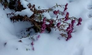 Замерзающий куст хризантемы