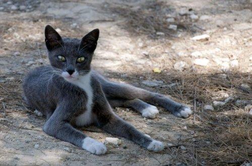 Кошки-киприоты