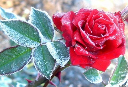 Замёрзшая роза