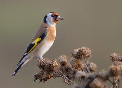 Птичка щегол