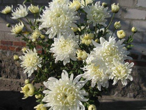 Хризантемы...