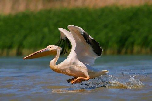 Взлет пеликана