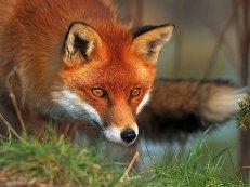 Из ельника во все глаза смотрела красная лиса…