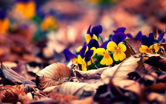 Весенний цветок голубой