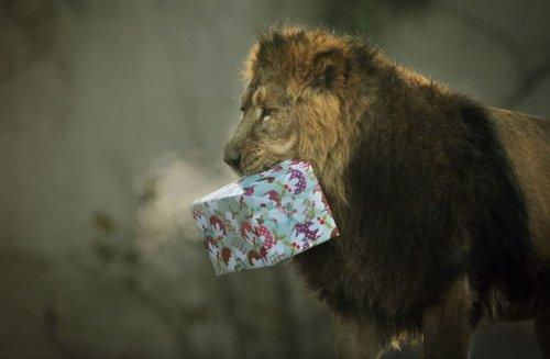 Подарок Льву