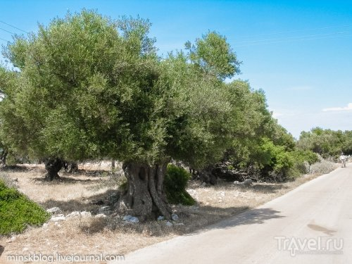 Дерево на острове Закинф