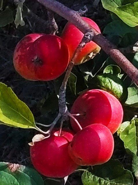 Письмо с абрикосами и яблоками, для Жени
