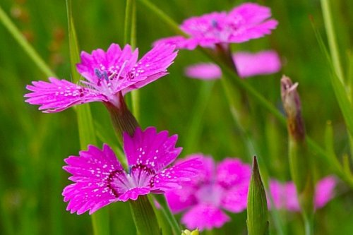 Цветы гвоздики полевой